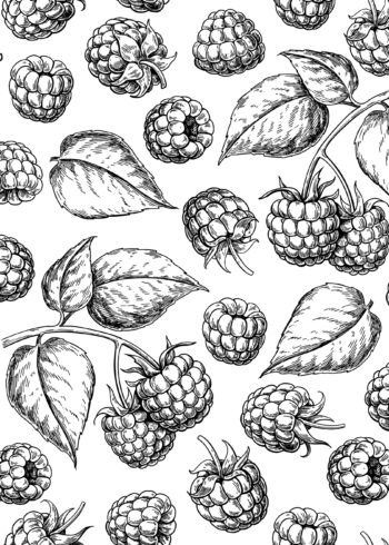 Raspberries and leaves sketch