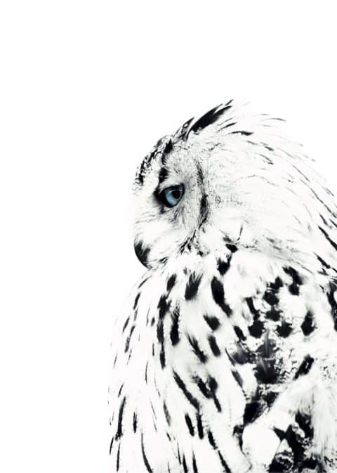 white owl side view